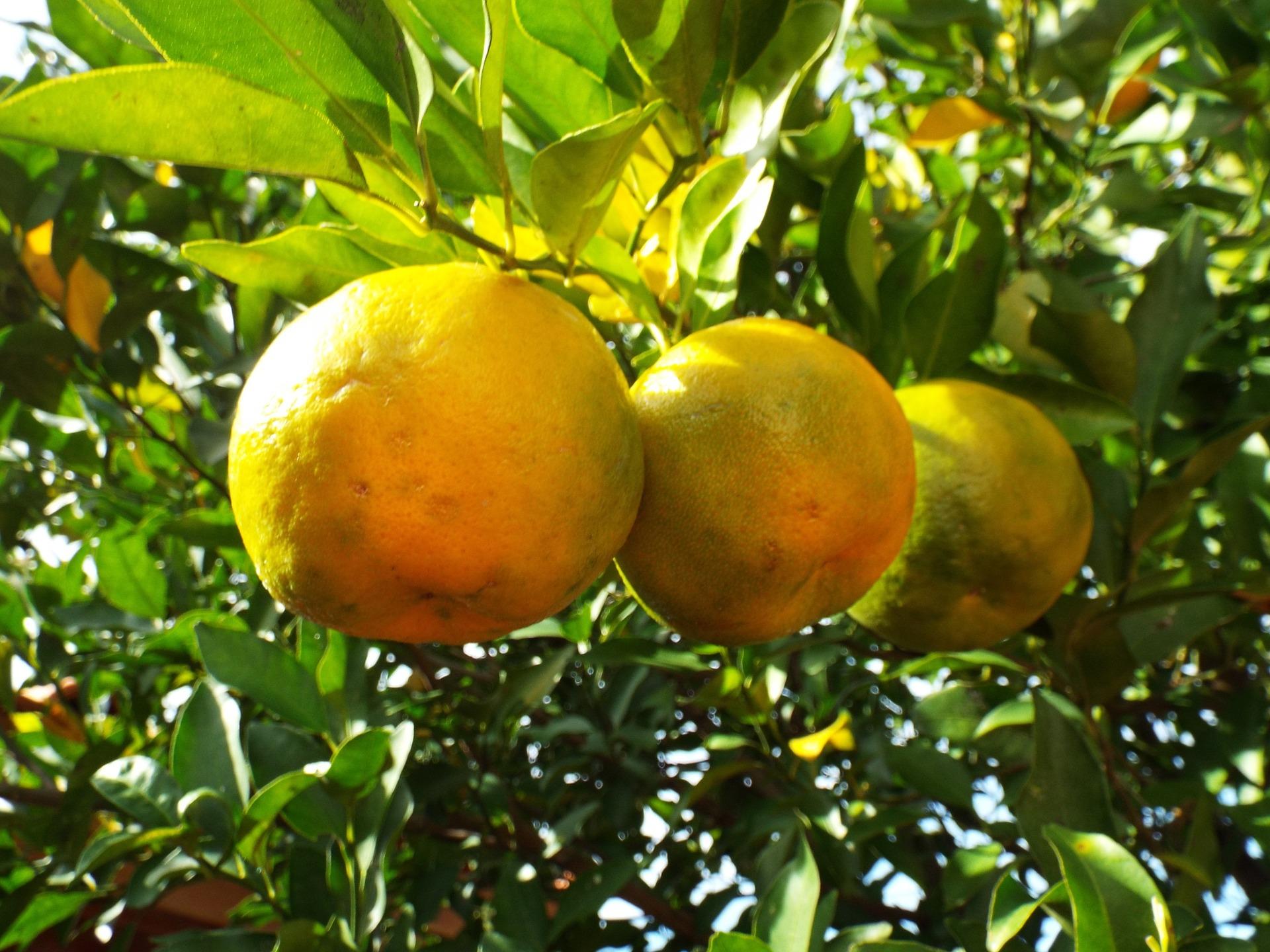 Olio essenziale di bergamotto: come usarlo e proprietà cosmetiche