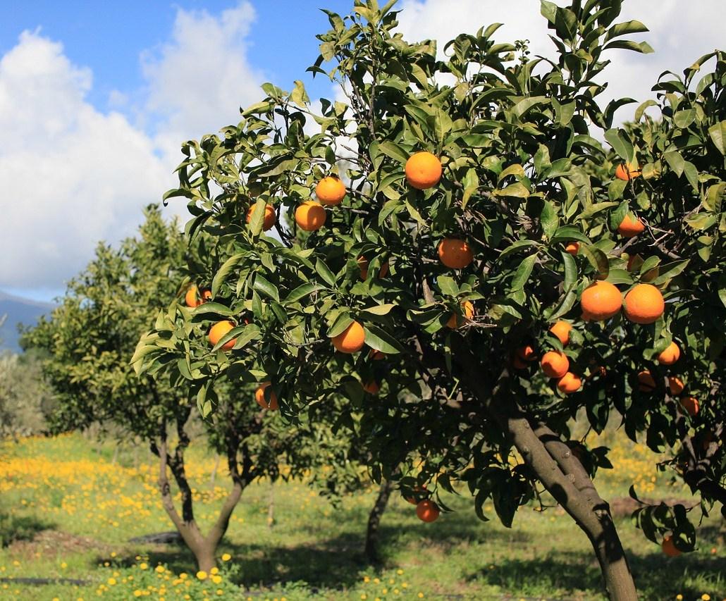 Olio essenziale di arancio dolce: proprietà e utilizzi