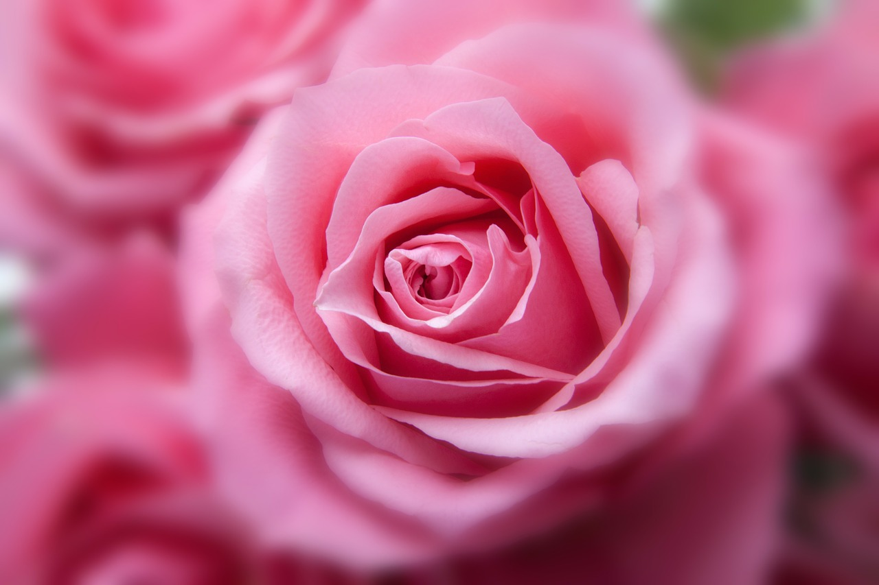 Olio essenziale di rosa: proprietà e benefici
